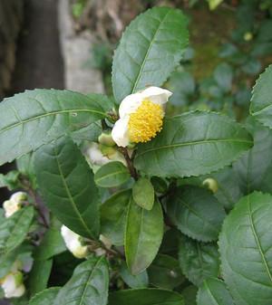 533pxcamellia_sinensis_japan_2