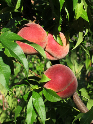 640pxvineyard_peaches_de