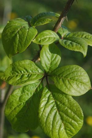 Eleutherococcus_senticosus_leaves